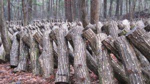 林内で栽培される乾しいたけは歯ごたえ抜群です。