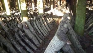 風通しの良い佐賀県産原木しいたけのホダ場
